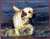 Sailin Labrador Retrievers and Boarding Kennel